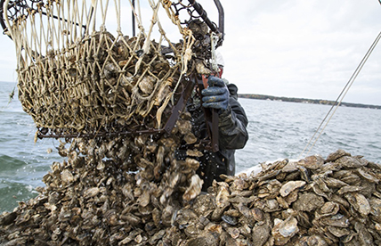 Solent oyster restoration gets £75,000 boost