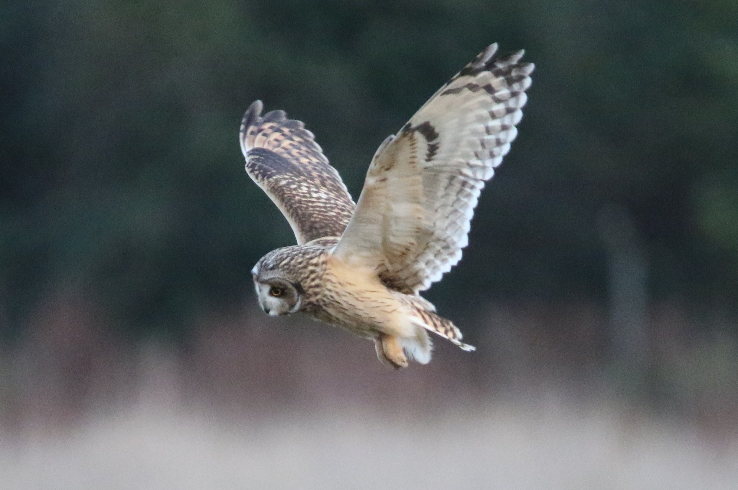 Rare Short Eared Owl spotted in Southampton