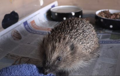Southampton organisation that helps rehabilitate injured hedgehogs has gained its charity status